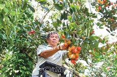 Vườn chôm chôm  trên đất phèn U Minh Hạ