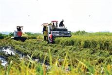 Lúa hè thu được giá, nông dân phấn khởi