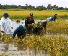 Cà Mau: Bộ đội giúp dân cắt lúa bị ngập nước