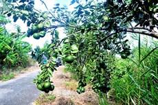 Vùng sản xuất ngọt hoá ngày càng thu hẹp - Bài 2: Nguy cơ phá vỡ hệ sinh thái ngọt