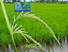 Lúa ST25 trên đồng đất Cà Mau