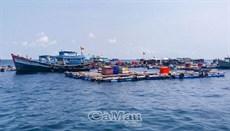 Ngư dân nuôi cá bớp gặp khó