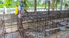 Xuất hiện ổ dịch tả heo châu Phi tại huyện Thới Bình