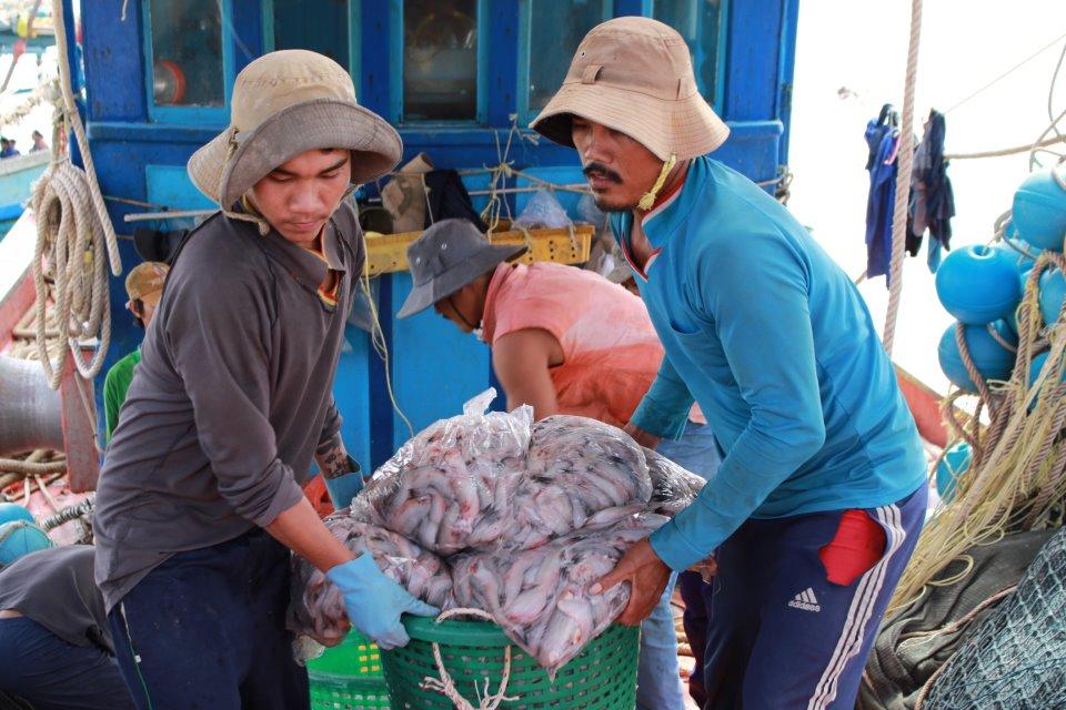 Sản lượng khai thác cá khoai Cái Đôi Vàm từ đầu vụ đến nay khoảng 80 tấn, chiếm hơn 65% tổng sản lượng khai thác tại các cửa biển ở Cà Mau.