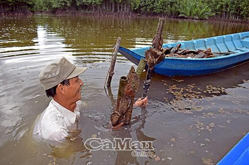 Ống nước được ông Chánh cặm dưới vuông tôm để hàu đeo bám, sau 6-8 tháng thì thu hoạch hàu.