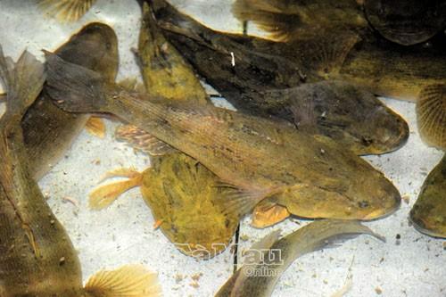 Để đạt được trọng lượng cá xuất bán thế này (cá chình từ 2-4 kg/con, cá bống tượng 0,5 kg đến hơn 1 kg/con), các hộ phải nuôi từ 1-1,5 năm.