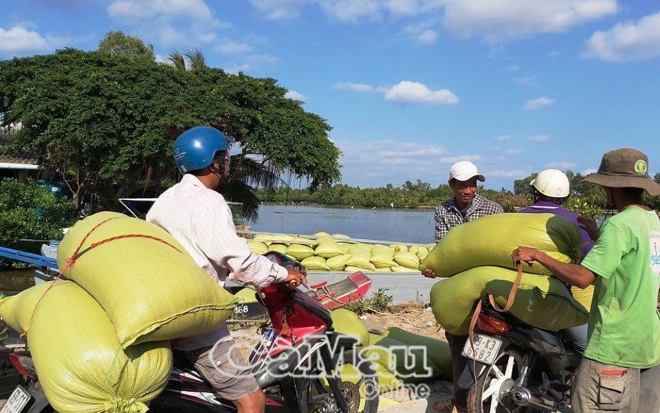 Nhiều vùng sản xuất lúa ở Trần Văn Thời, thương lái vận chuyển lúa bằng xe máy với phí 500 đồng/kg